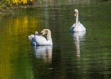 Två vecka behandla som ett barn den gamla stumma svanen simning samman med deras föräldrar på ett damm Royaltyfria Foton
