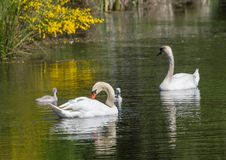Två vecka behandla som ett barn den gamla stumma svanen simning samman med deras föräldrar på ett damm Royaltyfria Bilder