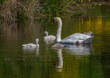 Två vecka behandla som ett barn den gamla stumma svanen simning samman med deras föräldrar på ett damm Arkivfoto