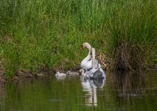 Två vecka behandla som ett barn den gamla stumma svanen simning samman med deras föräldrar på ett damm Fotografering för Bildbyråer