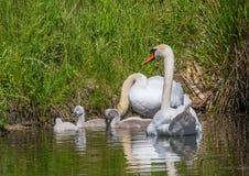 Två vecka behandla som ett barn den gamla stumma svanen simning samman med deras föräldrar på ett damm Royaltyfri Foto
