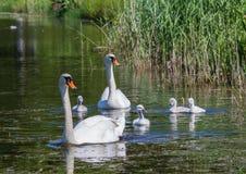 Två vecka behandla som ett barn den gamla stumma svanen simning samman med deras föräldrar på ett damm Arkivfoton