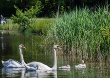 Två vecka behandla som ett barn den gamla stumma svanen simning samman med deras föräldrar på ett damm Royaltyfri Fotografi
