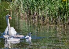 Två vecka behandla som ett barn den gamla stumma svanen simning samman med deras föräldrar på ett damm Arkivbild