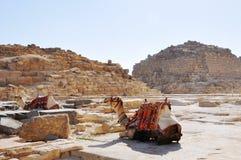 TVÅ VILA KAMEL, GIZA, EGYPTEN Arkivbilder