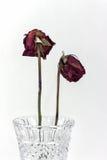 Två vissna rosor Arkivbild