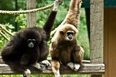Två Vit-räckte gibbon Arkivfoton