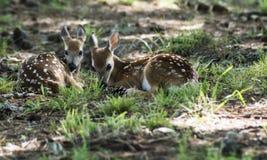 Två vit tailed hjort lismar att lägga i grönt gräs Royaltyfri Foto