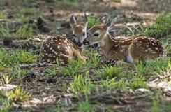 Två vit tailed hjort lismar att lägga i grönt gräs Fotografering för Bildbyråer