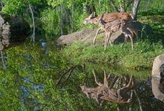 Två vit tailed hjort lismar reflexioner i vatten Royaltyfri Bild