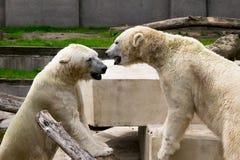 Två vita björnar som spelar i kamp arkivfoton