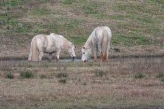 Två vita camarguehästar i lagun Arkivbild