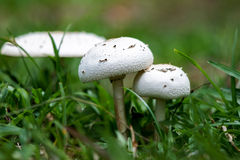 Två vita champinjoner bland gräs Arkivfoto