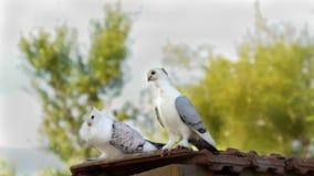 Två vita duvor sitter på taket arkivbild