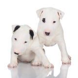 Två vita engelskabull terrier valpar arkivbild