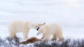 Två vita fluffiga isbjörnar i den arktiska snön royaltyfri bild