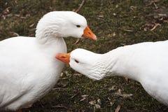 Två vita gäss på en grön gräsmatta fotografering för bildbyråer