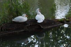 Två vita gäss som sitter på inloggningen det inhemska dammet G?s p? gr?n bakgrund royaltyfri fotografi