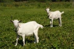 Två vita getter som betar på grönt gräs royaltyfri fotografi