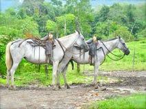 Två vita hästar Arkivfoton