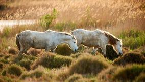 Två vita hästar av Camargue Royaltyfri Foto