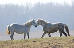 Två vita hästar på ängen royaltyfri foto