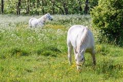 Två vita hästar på gräsplan betar Arkivfoto
