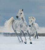 Två vita hästar som fritt kör i snön royaltyfri bild