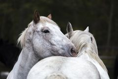 Två vita hästar som nuzzling, Wyoming Royaltyfri Foto