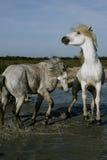 Två vita hästar som spelar och plaskar Arkivbilder