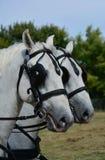 Två vita head hästar Royaltyfria Bilder