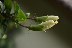 Två vita hibiskusblommaknoppar royaltyfri fotografi