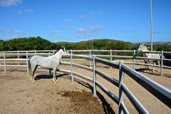Två vita hingsthästar arkivfoto