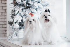 Två vita hundkapplöpning föder upp maltesiskt sammanträde på fönstret med en julgran royaltyfri foto