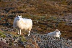 Två vita isländska får royaltyfria bilder