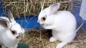 Två vita kaniner stock video