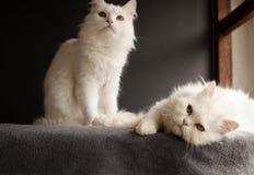 Två vita katter Arkivbilder