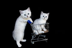 Två vita kattungar med shoppingvagnen på svart Arkivbild
