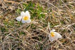 Två vita krokusar och att blomma i den tidiga våren som vilar på en säng av gräs, closeup royaltyfri fotografi