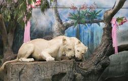 Två vita lejon som gifta sig för att fira valentin dag Fotografering för Bildbyråer