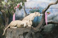 Två vita lejon som gifta sig för att fira valentin dag Royaltyfri Foto