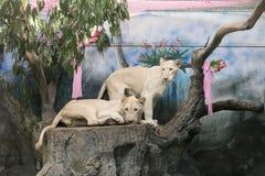 Två vita lejon som gifta sig för att fira valentin dag Royaltyfri Bild