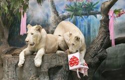 Två vita lejon som gifta sig för att fira valentin dag Arkivbilder