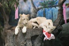 Två vita lejon som gifta sig för att fira valentin dag Arkivbild