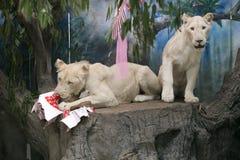 Två vita lejon som gifta sig för att fira valentin dag Royaltyfria Bilder