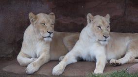 Två vita lejoninnor Fotografering för Bildbyråer