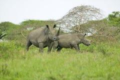 Två vita noshörningar som går till och med borste i den Umfolozi lekreserven, Sydafrika som är etablerad i 1897 Arkivfoton