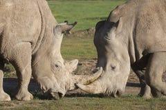 Två vita noshörningar vänder mot av royaltyfri foto