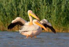 Två vita pelikan i vattnet Arkivfoton