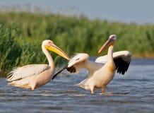Två vita pelikan i vattnet Arkivbilder